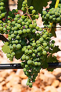 Grape bunches on the vine. Vines equipped with black rubber or plastic tubes for artificial drip irrigation watering. Zilavka grape variety. One of their best vineyards with very poor soil on a hilltop mountain near Citluk and Zitomislic. Vinarija Citluk winery in Citluk near Mostar, part of Hercegovina Vino, Mostar. Federation Bosne i Hercegovine. Bosnia Herzegovina, Europe.