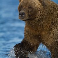 Male grizzly bear displaying claws while walking through the water in Silver Salmon Creek in Lake Clark National Park in Alaska.