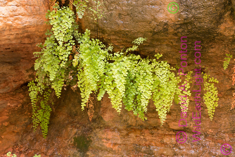 Maidenhair ferns grow under the protection of an overhang on a sandstone cliff above the stream in Saddle Canyon, a side canyon of the Grand Canyon, © David A. Ponton