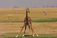 Juvenile Masai Giraffe drinking, Amboseli National Park, Kenya