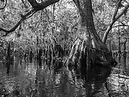 Cypress forest on Fisheating Creek in Florida's Fisheating Creek Wildlife Management Area. WATERMARKS WILL NOT APPEAR ON PRINTS OR LICENSED IMAGES.