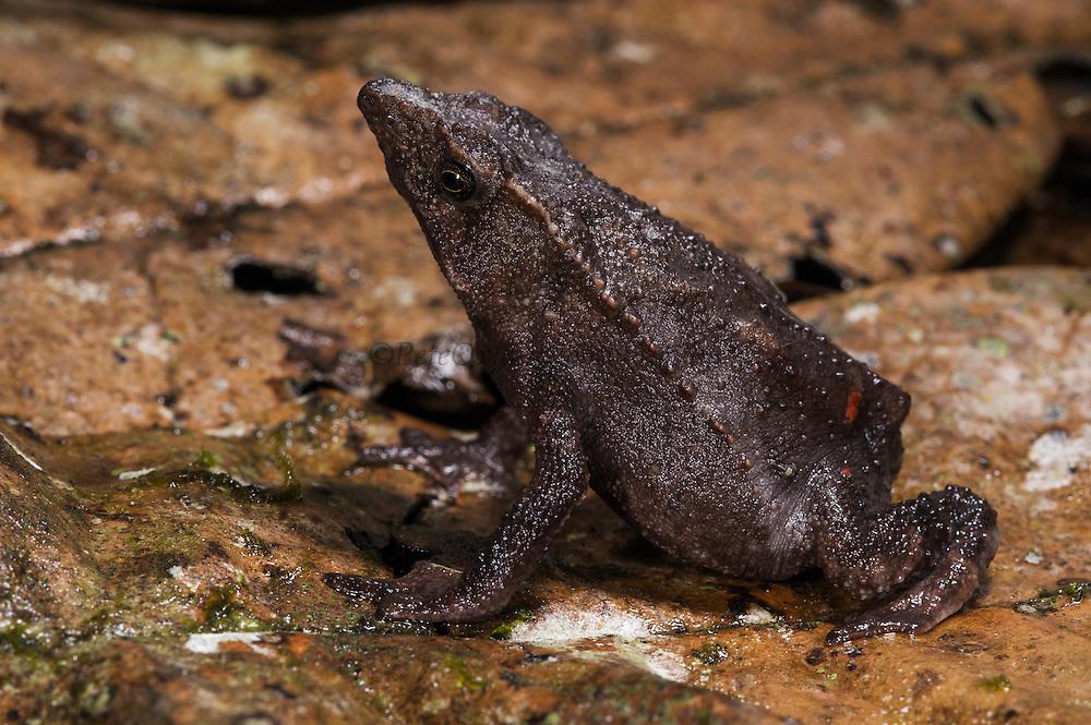 Valle Santiago Beaked Toad (Rhinella festae) <br /> CAPTIVE<br /> Eastern Andean slopes ECUADOR. South America<br /> RANGE: Ecuador, PeruV<br /> 200-1700m