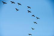 Double-crested Cormorant (Phalacrocorax auritus)<br /> Little St Simon's Island, Barrier Islands, Georgia<br /> USA<br /> HABITAT & RANGE: Most of North America coast