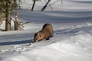American marten, or pine marten, in winter habitat.