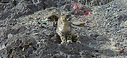 India 2006: Ladakh Snow Leopard Trip