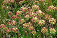 Sulphur flowered buckwheat wildflowers on Werner Peak, Stillwater State Forest, Montana, USA