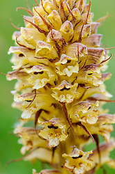 Bleke distelbremraap, Orobanche reticulate subsp. pallidiflora