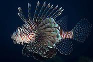 Pterois volitins (Lionfish)