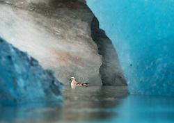 Northern Fulmar (Fulmarus glacialis) between ice bergs in Svalbard, Norway