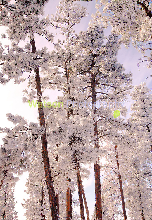 The Winter White Woods