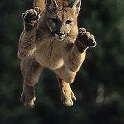 Mountain Lion (Felis concolor) in an airborne jump. Captive Animal