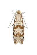 25.001 (0450)<br /> Hawthorn Moth - Scythropia crataegella