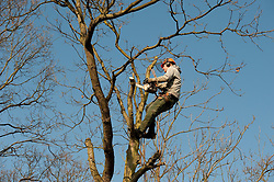 A young male working as an aborist cutting the crown of a tree with a chainsaw. Model released