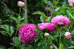 THEMENBILD - pinke Pfingstrosen in einem Garten, aufgenommen am 09. Juni 2018, Kaprun, Österreich // pink peonies in a garden2018/06/09, Kaprun, Austria. EXPA Pictures © 2018, PhotoCredit: EXPA/ Stefanie Oberhauser