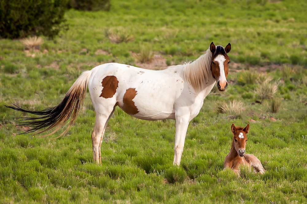 Wild Mustang mare watches over her newborn foal, Sandoval County, New Mexico