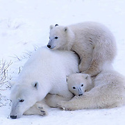 Polar Bear, (Ursus maritimus)  Mother and cubs resting. Cub seeks comfort by climbing on mother's back. Cape Churchill, Manitoba. Canada.