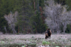 """Black wolf of the Pacific Creek pack that roams Grand Teton National Park.<br /> <br /> Read Story: """"Hungry Wolves""""<br /> http://www.the-hole-picture.com/articles/Hungry-Wolves.html"""