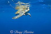 male olive ridley sea turtle, Lepidochelys olivacea, in open ocean, offshore from southern Costa Rica, Central America ( Eastern Pacific Ocean )