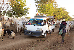 Truck Driving Through Herd Of Cattle