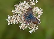 Common Blue Butterfly, (Polyommatus icarus), female, Kent UK