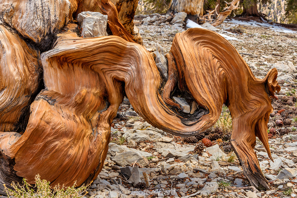 Curvy Limb of Ancient Bristlecone Pine, White Mountains, Inyo National Forest, California