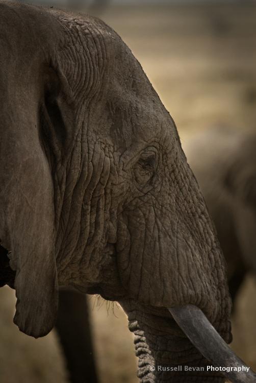 An Elephant close-up in the Serengeti National Park, Tanzania