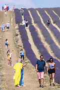 People walk and take pictures in a lavender field at Hitchin Lavender farm in Ickleford, Britain on Monday, Aug 10, 2020. <br /> Hitchin Farm attracts tourists and it is close to both London and Cambridge. Hitchin has around 35 miles of lavender rows which people can walkthrough. Hitchin Farm also grows sunflowers which can be seen in full bloom this time of year. (VX Photo/ Vudi Xhymshiti)
