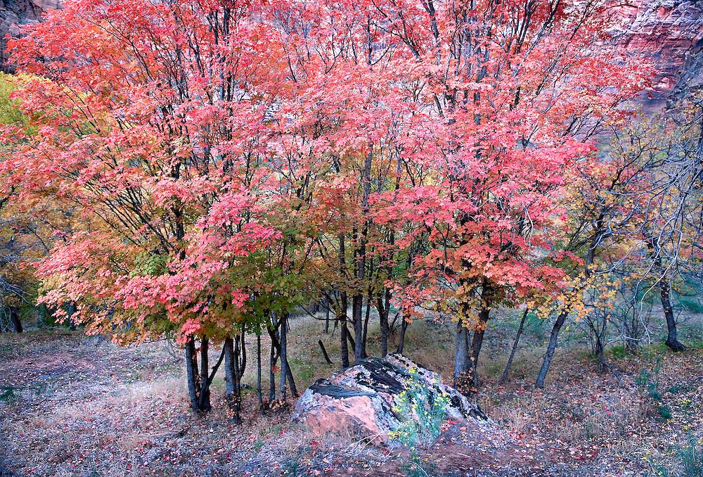 brilliant autumn maple trees in twilight, Zion National Park