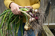 Woman holding her crop of home grown organic vegetables including garlic and onions on 4th July 2020 in Birmingham, United Kingdom. The home-grown crops that have been sown and nurtured from seed and grown until ready to harvest and eat.