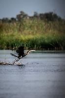 African Darter takes off in the waterways of the Okavango Delta, Botswana.