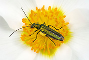 Close-up of a flower beetle (Oedemera lurida) resting in the centre of an anemone flower in a Norfolk garden in summer