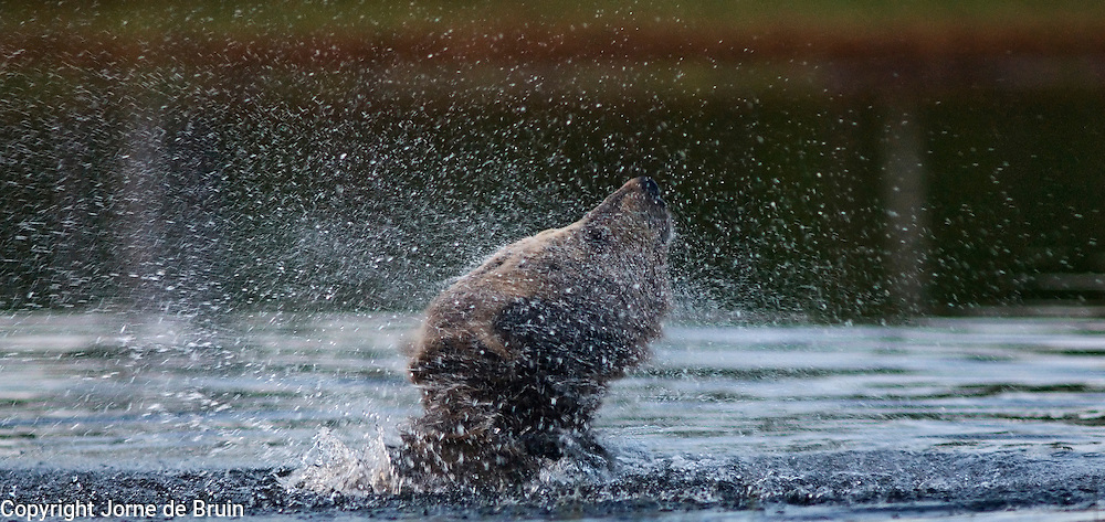 An Eurasian Brown Bear shakes the water out of his fur when he is swimming in a lake in the forest in Finland.