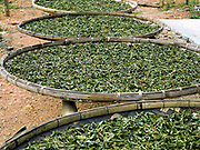 Tea leaves drying in the sun, Ban Komaen, Phongsaly province, Lao PDR. Phongsaly is famous for its tea and the ancient Komaen tea plantations are unique in the region. Its 48,378 trees are spread over 69 hectares, producing organic leaves which are rich in substances that are much appreciated both locally and in China. Tea is the main economic activity in Komaen, every family has its plantations and everyone takes part in the harvest. The famous '400 year old' Komaen tea is made into tea cigars when the leaves have not been sold to local tea manufacturers.