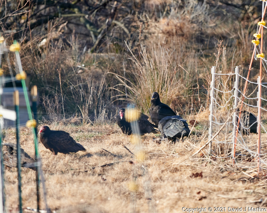 Turkey and Black Vultures. Image taken with a Nikon D850 camera and  500 mm f/4 VR lens.