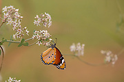 Plain Tiger (Danaus chrysippus) AKA African Monarch Butterfly on a flower Photographed in Israel, in July