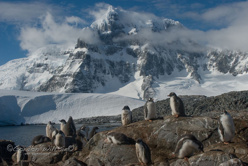 Gentoo Penguins stand in a rookery surrounding Port Lockroy Museum on tiny Goudier Island, Antarctica. Behind is Mount Luigi, highest of the Seven Sisters of Fief in the Fief Mountains on Wienke Island.
