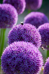 Bees on Allium 'Lucy Ball'