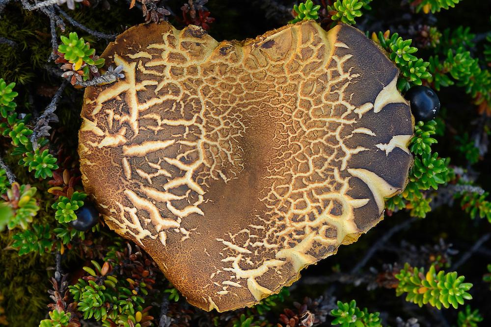Heart-shaped mushroom, along the Padjelantaleden trail, Padjelanta National Park and Sarek National Park, Norrbotten, Lapland, Sweden.