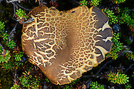 Heart-shaped mushroom, along the Padjelantaleden trail, Padjelanta National Park and Sarek National Park, Norrbotten, Lapland, Sweden.