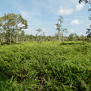 Reforestation of an old farm in Puting National Park. Central Kalimantan region, Borneo.