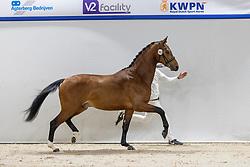 362, Norton Sollenburg<br /> KWPN Hengstenkeuring 2021<br /> © Hippo Foto - Dirk Caremans<br />  05/02/2021