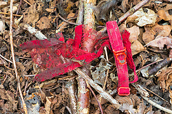A scrap of red lacy underwear at a dogging spot - a place where people meet to have sex with strangers, just off the A26 at Eridge near Tonbridge Wells in Kent. March 27 2019.