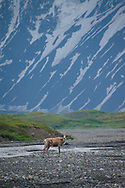 A lone caribou strides along the highways of Denali, the glacial riverbeds.
