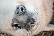 Closeup of seal pup on the dunes at Donna Nook