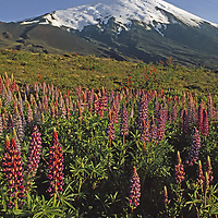 Lupines grow below Volcan Osorno.
