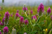 Trifolium purpureum (Purple Clover) Photographed in the Jordan Rift Valley, Israel in March