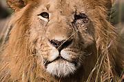 Portrait of a male lion, Panthera leo,  Masai Mara, Kenya.