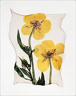 FLOWERPRESS - Marsh Marigold - polaroid lift photo art print by Paul Williams. These rare and striking polaroid lift was taken iby Paul Williams in 1992 and was awarded a Polaroid European Final Art Award.