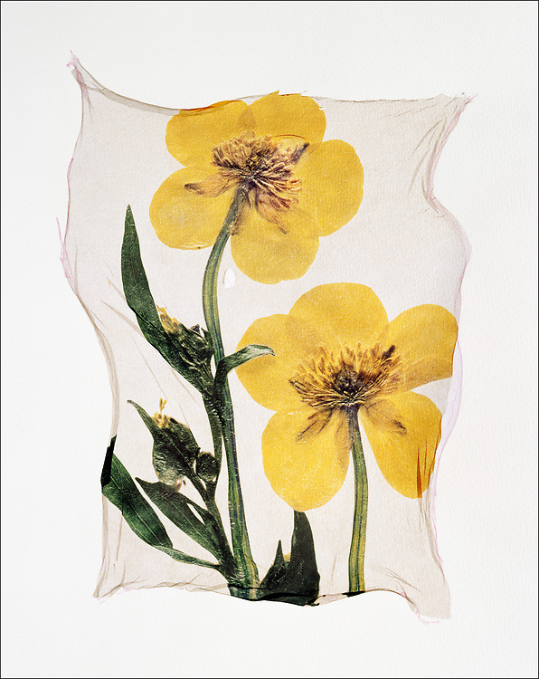 FLOWERPRESS - Marsh Marigold - polaroid lift photo art print by photographer Paul E Williams. These rare and striking polaroid lift was taken iby Paul Williams in 1992 and was awarded a Polaroid European Final Art Award. .<br /> <br /> Visit our FINE ART PHOTO  PRINT COLLECTIONS for more wall art photos to browse https://funkystock.photoshelter.com/gallery-collection/Fine-Art-Photo-Prints-by-Photographer-Paul-Williams/C0000UM829OLMVv8
