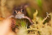 Toadlet of the common toad on a moss covered rock, near a Scottish Loch. Only available as an A3 limited edition print (print run of 150) or an editorial licence. Not for resale.